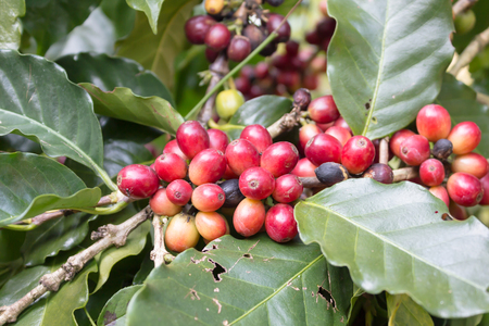 Red and green raw coffee bean, coffee tree