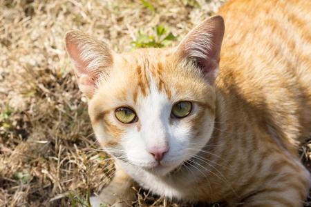 Close-up yellow light brown cat at the face, cat on dry grass field Standard-Bild