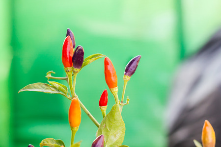 Group of colourful red, purple and orange small chilli spicy herb vegetable Standard-Bild