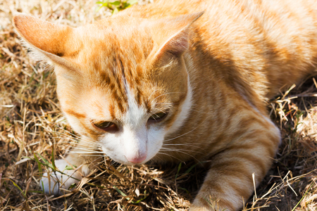 Focus face of domestic yellow brown white cat lay down on dry grass field
