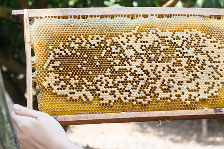 Bee hive or bee nest with hand, harvest the honey bee in farm Banque d'images