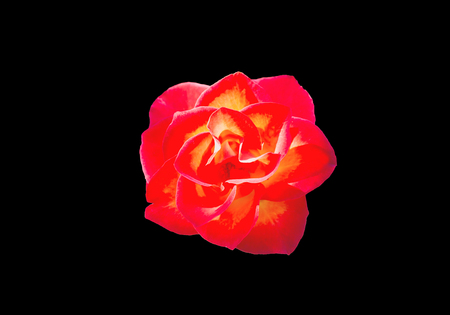 Isolated big red rose top view with clipping path on black background Standard-Bild