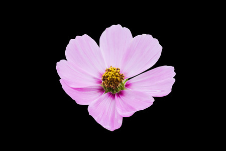 Isolated pink cosmos flower on black background with Standard-Bild