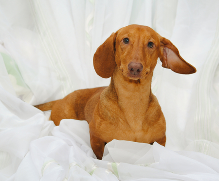 9 months: Dog Dachshund age 9 months Stock Photo