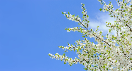Branches of blossoming cherry on blue sky background