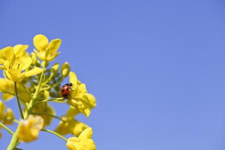 rape plant: ladybug, Stock Photo