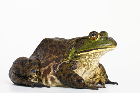 bullfrog: bullfrog Stock Photo