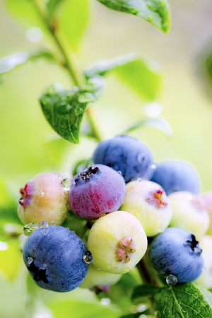 ascribed: Blueberry Stock Photo