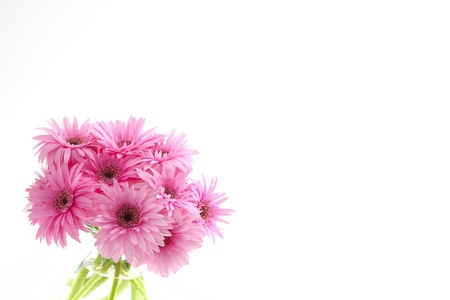 gerbera Stock Photo - 12563268