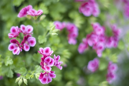 geranium: ivy geranium Stock Photo