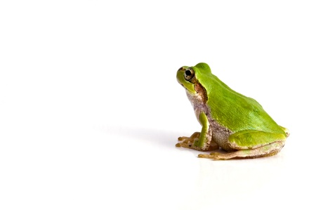 green tree frog: Tree frog Stock Photo
