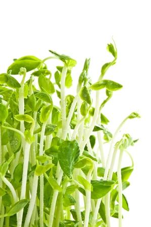 germination: seedling beans