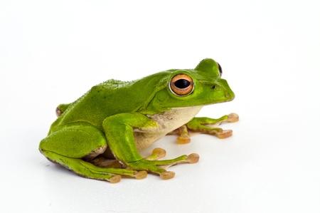 green tree frog: Frog Stock Photo