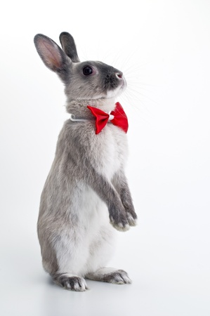 Rabbit red bow tie Stock Photo - 12628352