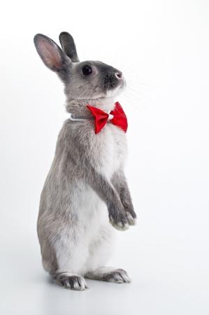 Rabbit red bow tie Stock Photo - 12628352