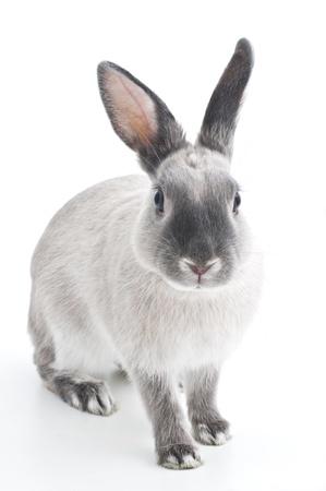 conejo: Conejo Foto de archivo