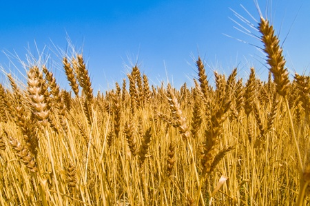 ascribed: wheat field