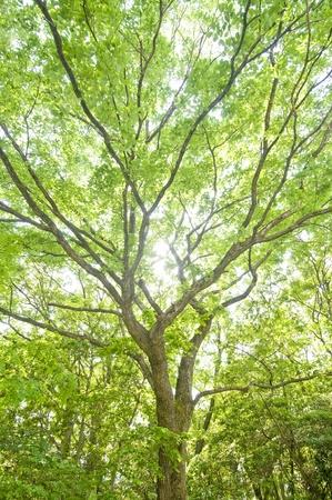 acorn tree: Thurs Traditional