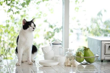 Cat in the kitchen, 版權商用圖片
