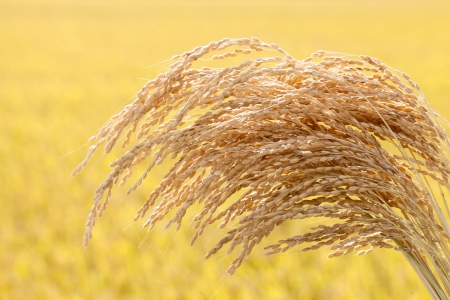 Ripe rice photo