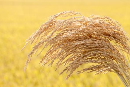 paddy fields: Ripe rice Stock Photo