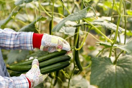 Harvest of cucumbers Stock Photo - 18621722