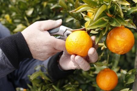 Harvest of citrus 写真素材
