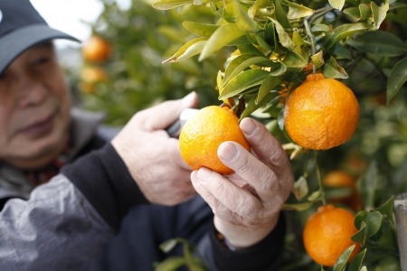 Harvest of citrus Stock Photo