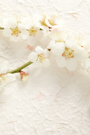 Plum Blossom Stock Photo - 18621676