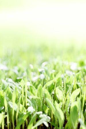 Background fresh green, germination