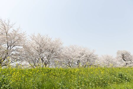 Spring in Japan, Cherry Blossoms 写真素材