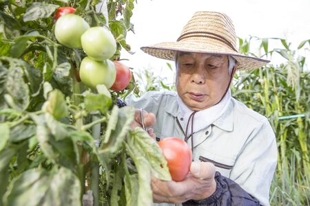 Tomato organic cultivation