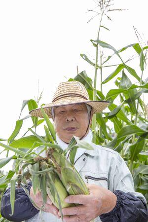 Japanese senior man harvesting corn