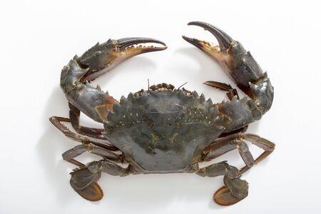 Charybdis japonica photo de crabe