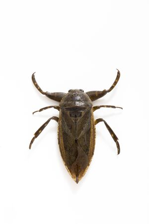 Lethocerus deyrollei from Japan Shot of a Japanese Aquatic Insect on a White Background Banco de Imagens