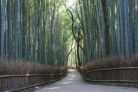 Bamboo grove in Arashiyama in Kyoto photo