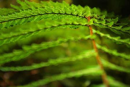 silver fern: Silver Fern in Auckland, New Zealand