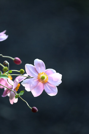 The Japanese anemone which blooms in solar light