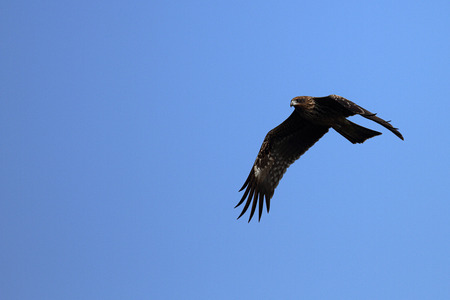 leisurely: Black Kite and The black kite which flies in the air leisurely