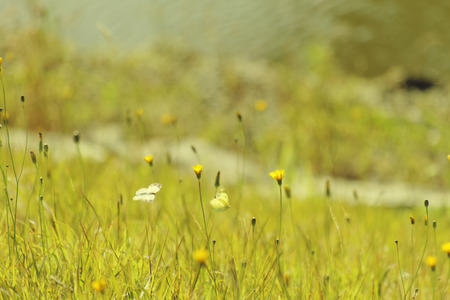 Butterflies dancing cheerily on the river embankment where a yellow flower blooms Stock Photo