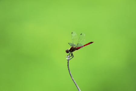 SympetrumThe red dragonfly which stops at the favorite place many times Stock fotó
