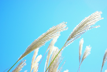 filming point of view: Japanese pampas grass SUSUKI Stock Photo