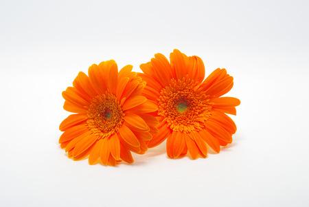 barberton daisy: Barberton daisy of the orange Stock Photo