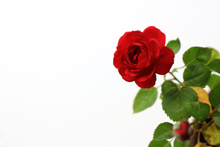 A small red rose blooming beautifully on the background of white 写真素材