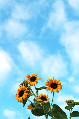 Sunflower extending toward the blue sky