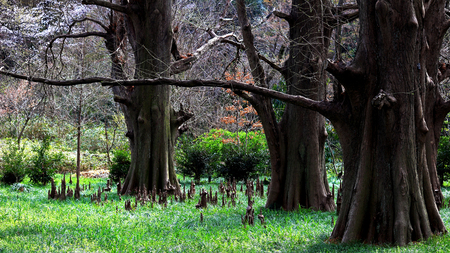 Mysterious cypress forest