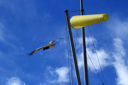 Black Kite dancing in the sea breeze