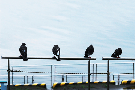 Four pigeons lined up in the fence of the waterside