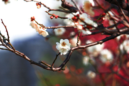 Japanese plum blossoms in early spring