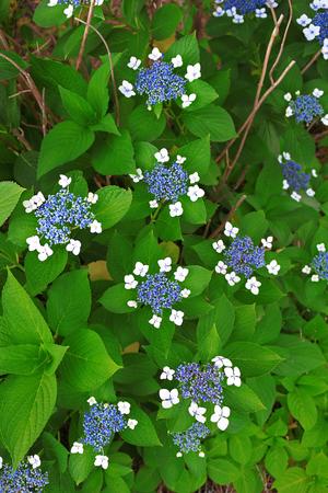 Quiet garden where hydrangea blooms